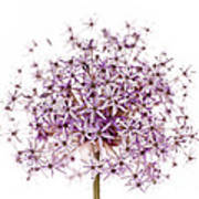 Purple Flowering Onion Poster