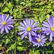 Purple Flowers Lookiing Like Daisies Poster