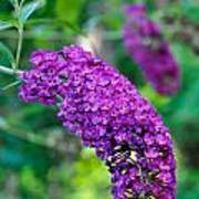Butterfly Bush Garden Flower Poster