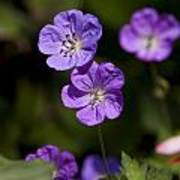 Purple Geranium Flowers Poster