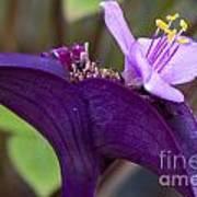 Purple Heart Flower Poster