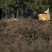 Purple Heather In The Background A Female Deer Netherlands Poster