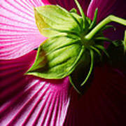 Purple Hibiscus Shot From Behind. Poster