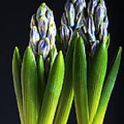 Purple Hyacinth Ready For Spring. Poster