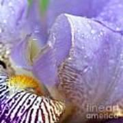 Purple Iris - 3 Poster