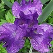 Purple Iris After The Rain Poster