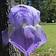 Purple Iris Poster by Edward Hamilton