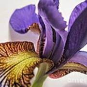 Purple Iris Macro 5 Poster