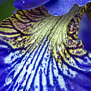 Purple Iris Petal Poster