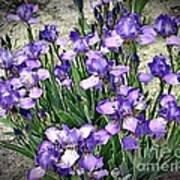 Purple Irises Poster