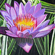 Purple Lotus With Striped Foliage Poster