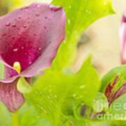 Purple Mini Calla Lily On A Sea Of Green Poster