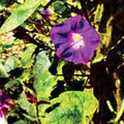 Purple Morning Glory Poster