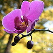 Purple Orchid In September Sun Poster