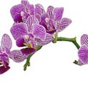 Purple Orchid-3 Poster