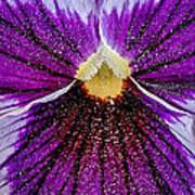 Purple Pansy In Pollen Poster