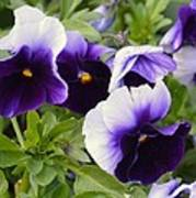 Purple Pansy Melody Poster
