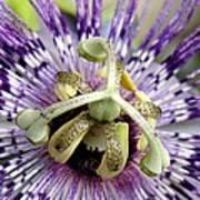 Purple Passion Flower Close Up  Poster