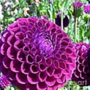 Purple Perfection Dahlia Flower Poster