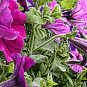 Purple Petunias Poster