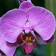 Purple Phalaenopsis Orchids Poster