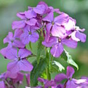 Purple Phlox Poster
