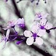 Purple Pink Blossoms Poster