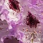 Purple Rhodo Poster