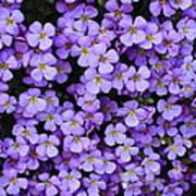 Purple Rockcress Poster