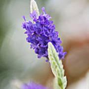 Purple Sage Poster