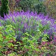 Purple Salvia In The Garden Poster