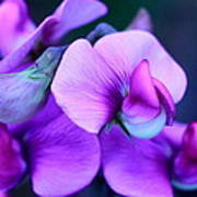 Purple Sweet Peas Poster