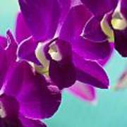 Purple Trio - Orchids Poster