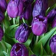 Purple Tulips Poster