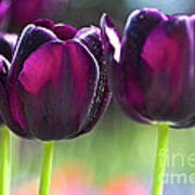 Purple Tulips Poster by Heiko Koehrer-Wagner