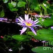 Purple Water Lilly Poster