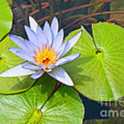 Purple Water Lily In Pond. Poster