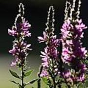 Purple Wild Flowers - 1 Poster
