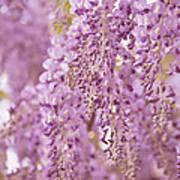 Purple Wisteria Poster