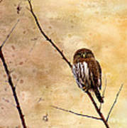 Pygmy Owl - The Watcher Poster