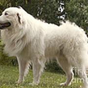 Pyrenean Mountain Dog Poster