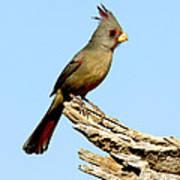 Pyrrhuloxia Cardinalis Sinuatus Female Poster