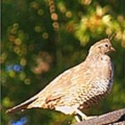 Quail Look Out Poster