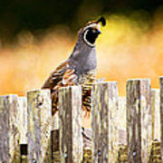 Quail Lookout Poster
