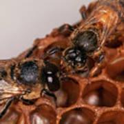 Queen And Drone Honeybees Poster