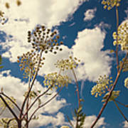 Queen Anne Lace And Sky I Poster