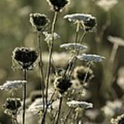 Queen Annes Lace - 1 Poster