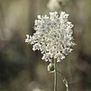 Queen Annes Lace - 3 Poster