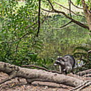 Raccoon At The Lake Poster