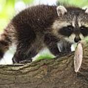 Raccoon Baby Poster